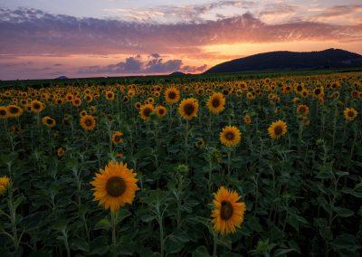 Sonnenblumen in der Pfalz zum Sonnenuntergang