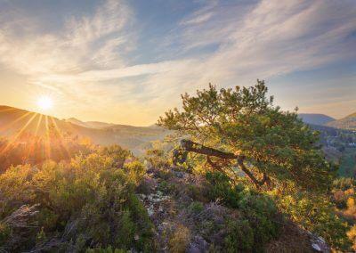 Eine Wetterkiefer inmitten des Pfälzerwaldes zum Sonnenaufgang