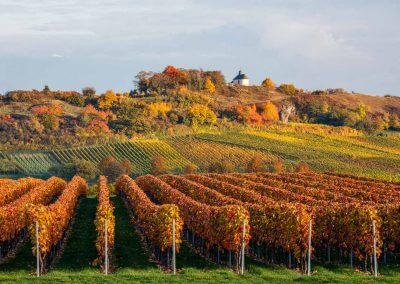 Gefärbte Weinreben an der kleinen Kalmit in Ilbesheim