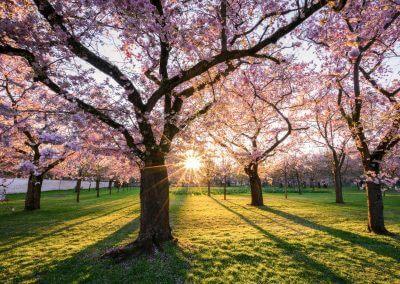 Kirchblüte in Schwetzingen