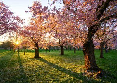 Kirschblüte in Schwetzingen im Schlosspark